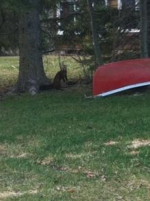 Weasel April 2012